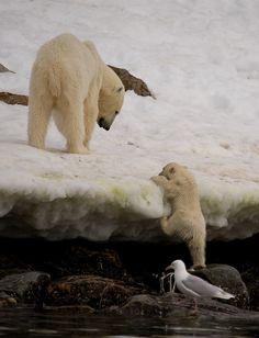 Polar bears baby climbing icy shore line