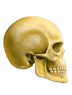 Real Human Skull Side images