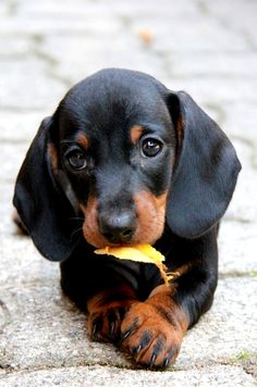 Cute Baby Dogs, Cute Baby Animals, Cute Puppies, Dogs And Puppies, Funny Animals, Easy Animals, Weenie Dogs, Dachshund Puppies, Chihuahua