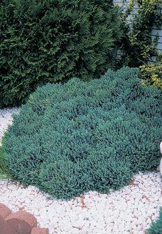 This dwarf bush of dense steel blue foliage is ideal for rock gardens or bonsai.