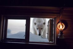 A female polar bear peers into the window of Paul Nicklen's cabin to inspect this human interloper — after munching on his snowmobile seat, his camera bag and his hat. Svalbard, Norway ~ Photo by...Paul Nicklen©2008
