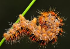 Photograph Caterpillar by Mustafa Öztürk on Weird Insects, Bugs And Insects, Plant Insects, Garden Bugs, Chenille, Sausages, Beautiful Butterflies, Caterpillar, Moth
