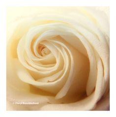 Rose Beautifully | Cheryl Bez Photography More at: cherylbez.photography Cheryl, Rose, Photos, Photography, Beauty, Beautiful, Pink, Pictures, Photograph
