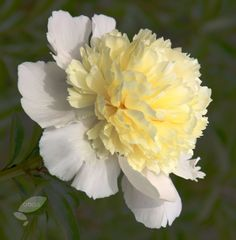 Elegant summer flowers with pink flushed creamy-white outer petals and tiny, canary-yellow, incurving, inner petals. This delicately scented white peony is ideal for an open sunny border. The deeply cut pale to mid-green leaves are excellent for masking the faded foliage of early spring flowering bulbs.