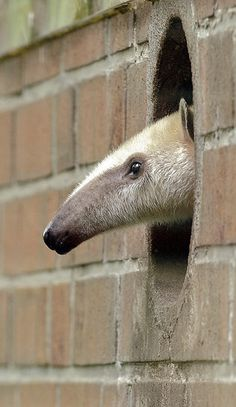 """So, the title of this is wrong. This is not a Giant anteater. This is a Tamandua or Collared anteater/ lesser anteater. """"Giant Anteater"""" by Martin Meissner: A youngster looking out on the world at the Dortmund Zoo in baby Animals Animals Cute Baby Animals, Animals And Pets, Wild Animals, Beautiful Creatures, Animals Beautiful, Giant Anteater, Photo Animaliere, Peek A Boo, Mundo Animal"""