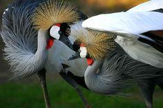 Żuraw – dostojny ptak / Crane bird