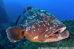 Cernia, underwater fish photography in Sardegna near Orosei. Another candidate for the Sardinia food pinboard.