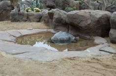 I have seen numerous suggestions for Russian tortoise diet Some great Some awful. Russian Tortoises are nibblers and appreciate broad leaf plants. Tortoise House, Tortoise Habitat, Turtle Habitat, Baby Tortoise, Sulcata Tortoise, Tortoise Care, Giant Tortoise, Reptile Habitat, Outdoor Tortoise Enclosure