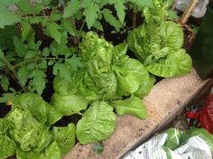 #Lettuce Grow, in my #greenhouse! #littlegem www.pinterest.com/annbri/