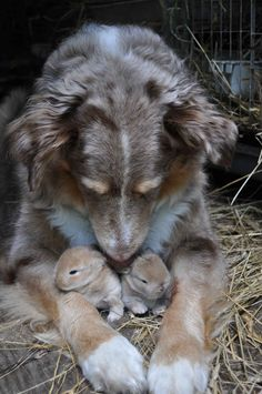A dog who is pleasantly surprised to discover that he has adopted two baby rabbits.