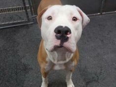 URGENT - Manhattan Center   KINO - A0996036  MALE, TAN / WHITE, PIT BULL MIX, 1 yr STRAY - STRAY WAIT, NO HOLD Reason STRAY  Intake condition NONE Intake Date 04/08/2014, From NY 10466, DueOut Date 04/11/2014  https://www.facebook.com/photo.php?fbid=785982494747965&set=a.617938651552351.1073741868.152876678058553&type=3&permPage=1