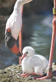 Chick Habit  - In a more recent photo, taken at the San Diego Zoo's Safari Park, a newborn flamingo is attended to by a slightly bigger version.