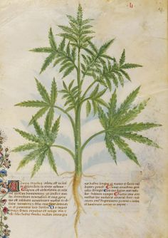 """The seed of the hemp is known to all for the benefit of the use: it is good against the bite of poisonous animals, mitigates the pain in the ear, it should be against the cold of the chest, eliminates worms in the body lombricoidi"" Historia Plantarum, 15thC"