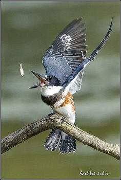 Belted Kingfisher | Flickr - Photo Sharing!  JOIN ME AT MY NEW WEBSITE:  atthebirdfeeder.com.  NEW STUFF ADDED DAILY.