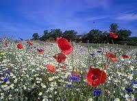 wildflower meadow - Google Search