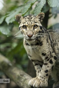 Clouded Leopard by Colin Langford - Photo 124544769 - 500px