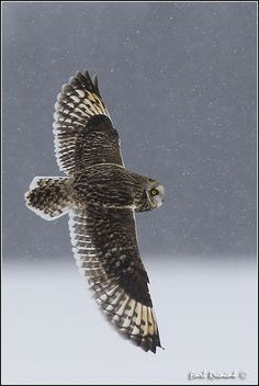 Short Eared Owl amidst snowflakes.