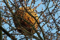 Un nid de frelons asiatiques How To Dry Basil, Herbs, Solution, Nature, Plants, Gardening, Diy, Travel, Gardens