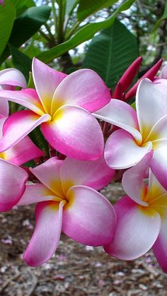plumeria, flowers, leaves, branch, close-up