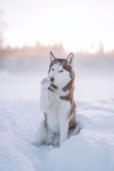 Wonderful All About The Siberian Husky Ideas. Prodigious All About The Siberian Husky Ideas. Sibirsk Husky, Red Husky, Cute Husky, Siberian Husky Dog, Cute Puppies, Cute Dogs, Dogs And Puppies, Doggies, Huskies Puppies