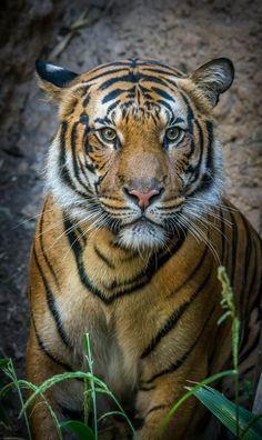 "sdzoo Image by Craig Chaddock Malayan Tiger (Panthera tigris jacksoni) ""Conner"" along the Tiger Trail at the San Diego Zoo. Pretty Cats, Beautiful Cats, Animals Beautiful, Zoo Animals, Cute Animals, Wild Animals, Big Cat Diary, Save The Tiger, Tiger Wallpaper"