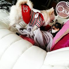 こないだの写真 こんなのもあったんだ😆  ベティが優しいお姉ちゃん❤  見つめあうふたり💓  チュッ💋 可愛い😍  #チワワ#なかよしチワワ  #愛犬#ベティ11歳#モニカ8ヶ月 #犬との生活#ワンちゃん #チワワラブ#チワワ部  #chihuahua#dog#cute #kiss💋#lovelychihuahua  #mydog#family #betty#monica  #치와와 #치와와스타그램 #치와와사랑 #베티#모니카