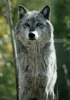 i think this is the wolf from the Wolf and Grizzly discovery center in west yellowstone