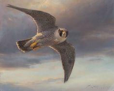 A peregrine falcon cross the sky at sunset, displaying its beautiful mottled livery. Oil on canvas. Peregrine Falcon, North Beach, Birds Of Prey, Wildlife Art, Raptors, Dark Backgrounds, Oil On Canvas, Drawings, Painting