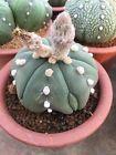 Astrophytum asterias # gymnocalycium melocactus euphorbia cactus succulent cacti