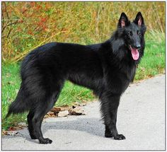 Black Belgian Shepherd- this looks just like the one I had growing up! Loved Happy!