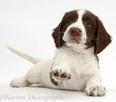 """Play with me?"" #dogs #pets #SpringerSpaniels #puppies Facebook.com/sodoggonefunny"