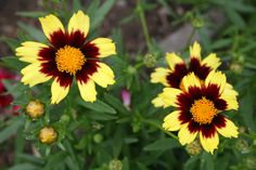 Coreopsis (Tickseed) is dependable and colorful. has a long bloom period and is generally trouble free.  We love it at Plants Plus because it is easy to care for, low maintenance, multiplies readily, good for cut flowers, and tolerates dry soil.  This is one of our customers favorites at Plants Plus.  www.plantspluscape.com