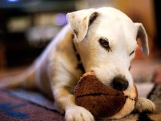 Chewing is a common complaint among dog owners. Learn about the types of chewing and how to get your dog to stop here.