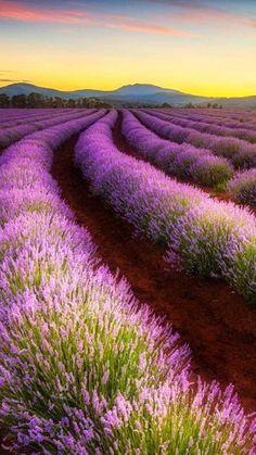 The wonderful Bridestowe Lavender Farm, Tasmania - photography by Tim Clark.