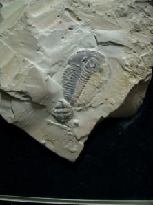 Trilobites!!! That's what my 8th grade science teacher was obsessed with!!!