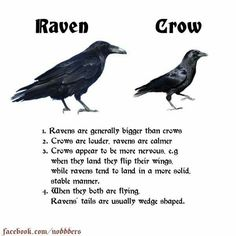 Raven and crows Animals And Pets, Funny Animals, Cute Animals, Crow Facts, Beautiful Birds, Animals Beautiful, Crows Ravens, Animal Facts, Wtf Fun Facts