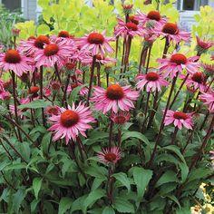 Echinacea purpurea Prairie Pillars™ Merlot