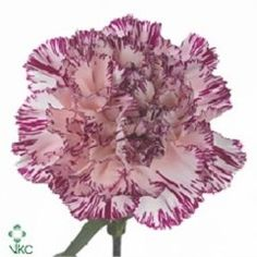 Carnation Copernico is a two toned carnation - 2018 Wedding Trend: Ultra Violet Purple. For lilac and purple wedding flowers to suit your colour scheme, visit our website at www.trianglenursery.co.uk/fresh-flowers!