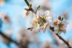 A bee on a blossom almond branch during spring