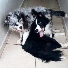 Björn e Han Solo #HanSolo  #starwars #bjorn #vikings #canilbf #bordercolliephotos #bordercollie #medicinaveterinaria #veterinaria #vet #dog #RH #instadog #instapets #riodejaneiro #Brasil #veterinary #veteassim  #cachorroétudodebom #veterinarian #errejota #évet #dogsofinstagram #instadog #instacool #adoteumcao #animallover #RJ