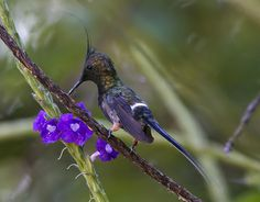 Wire-crested Thorntail, male (Popelairia popelairii) by Ardeola, via Flickr