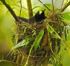 Long-tailed Paradigalla (Paradigalla carunculata)