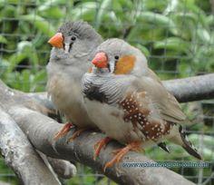 www.volierevogels-online.nl
