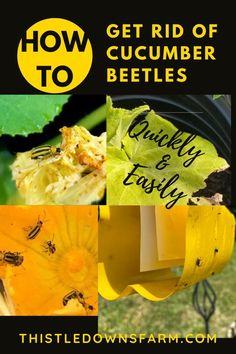 Cucumber beetles are notorious pests that can ruin your squash and cucumber crops if left unchecked.  Check out how to get rid of cucumber beetles once and for all with these helpful tips! To learn more about garden pest control, visit ThistleDownsFarm.com | #cucumberbeetles, #gardenpests, #gardeningproblems