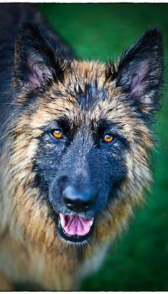 German Shepherd. Dog.