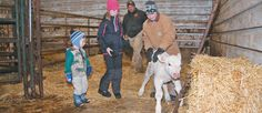 Halle and Hunter Herback help a newborn Charolais calf stand up in the birthing barn, as their father, Velon, looks on.
