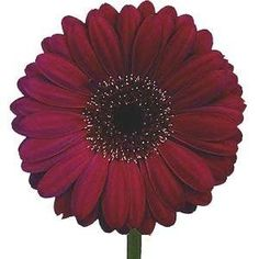 Burgundy Gerbera Daisy Wholesale Flowers (80 stems)