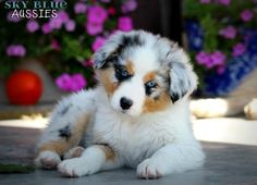 Australian Shepherd Puppies Available For Sale - http://www.training-a-puppy.info/australian-shepherd-puppies-available-for-sale/