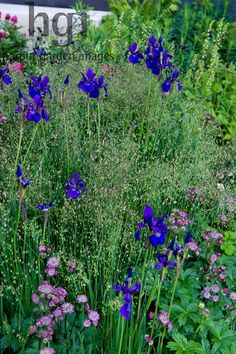 Harpur Garden Images Ltd :: Marcus Harpur No Man's Land: ABF The Soldiers' Charity Garden to mark the Centenary of World War One. Planting combination of Iris sibirica 'Dark Desire' and briza maxima with Astrantia. Gold medal. Design: Charlotte Rowe Sponsor: Bechtel Coutts and Co.
