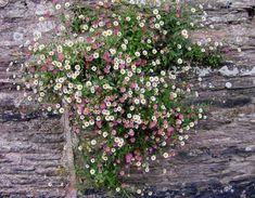 Erigeron karvinskianus (Mexican fleabane) growing in a wall in Slapton, Devon…